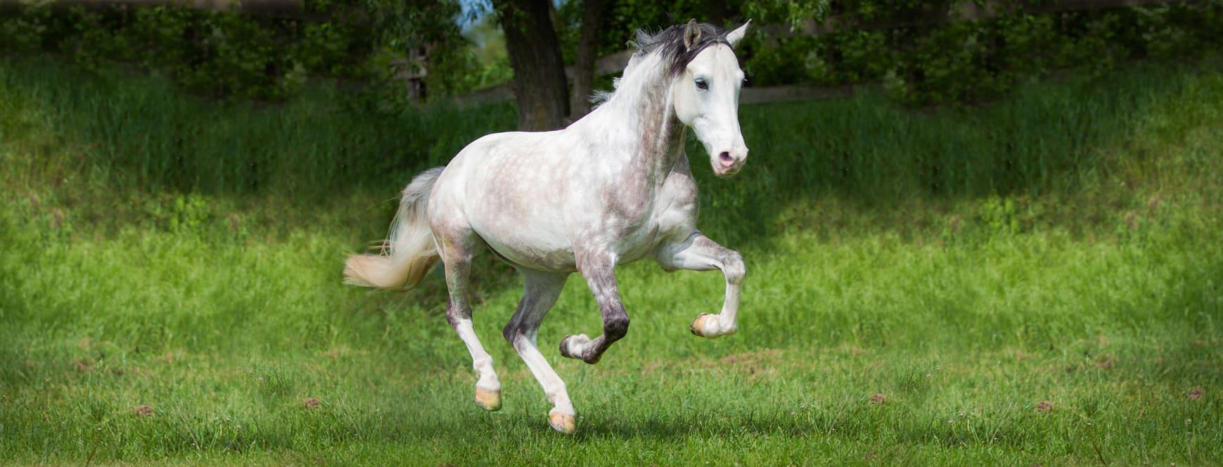 banner-pferd-galoppierend